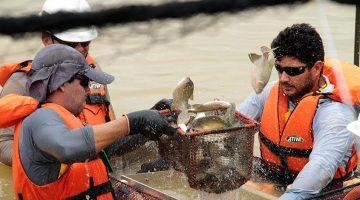 Tambaquis de cativeiro engordam na Vila Nova de Teotônio
