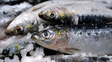 Pesquisa visa desenvolver rações para peixes marinhos criados em cativeiro