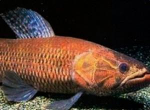 peixe trairao