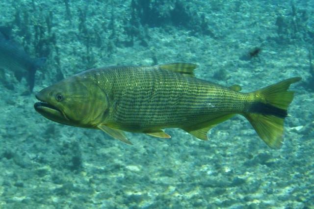 Peixe dourado emperra publicação de lista de animais em extinção no Estado
