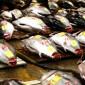 Pesca: Prática indiscriminada ameaça o atum e outros peixes nos oceanos
