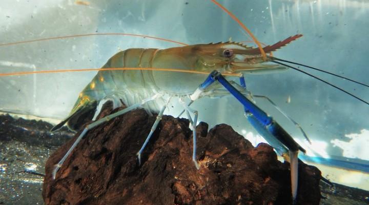 Como criar camarão-de-água-doce