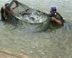 Atividade de fácil manejo pode suprir falta de peixes nativos