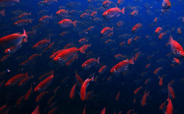 Peixes podem desaparecer dos trópicos até 2050