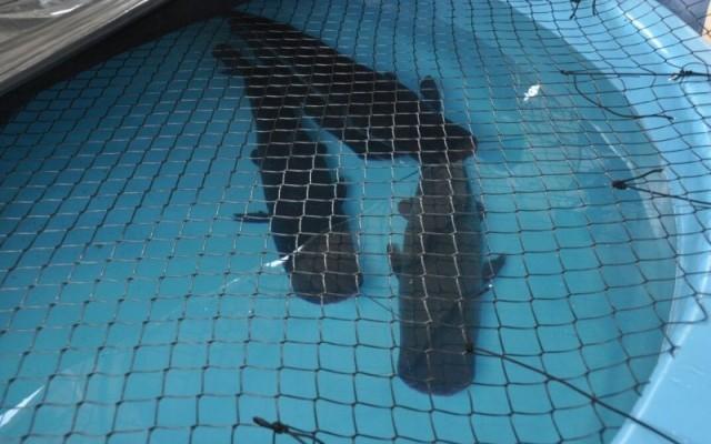 Aquário do Pantanal já tem 600 peixes e restante deve chegar até dia 15