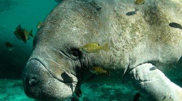 Usinas nucleares viciam peixes-boi da Flórida
