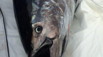 Menino de 10 anos pesca atum de 220 kg