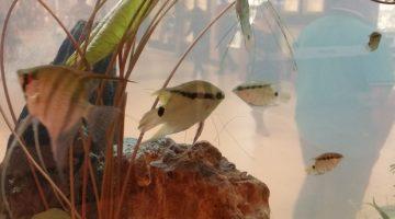 Exposição em Porto Velho traz peixes ornamentais da bacia do Rio Madeira