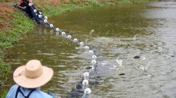 90% dos piscicultores do Distrito Federal se dedicam à criação de tilápia