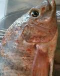 Pescadores denunciam deformação de peixes em Linhares e Colatina