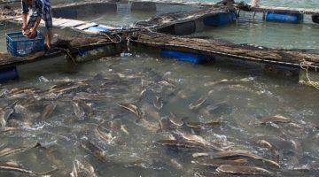 Criando Peixe: curso sobre piscicultura