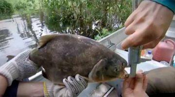 'Peixe jardineiro' ajuda a reflorestar o Pantanal dispersando sementes