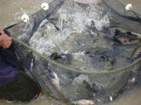 Rondônia participa de estudo para projeto piloto de sanidade de peixes