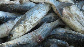 Pesca da tainha: Santa Catarina tem cota de 3.417 toneladas em 2018