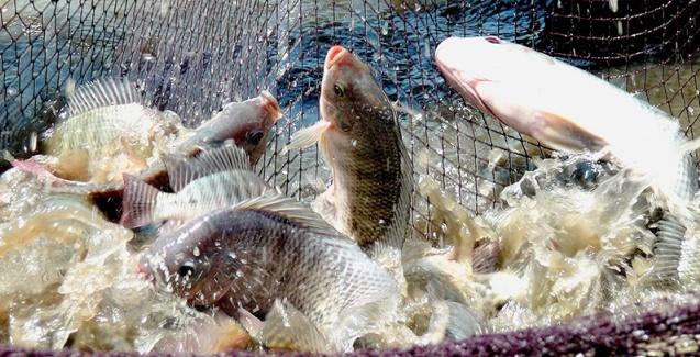 Baixas temperaturas exigem maior controle no manejo de pescados para evitar queda na produtividade