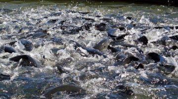 AB Vista tem a solução para a otimização de ração para peixes