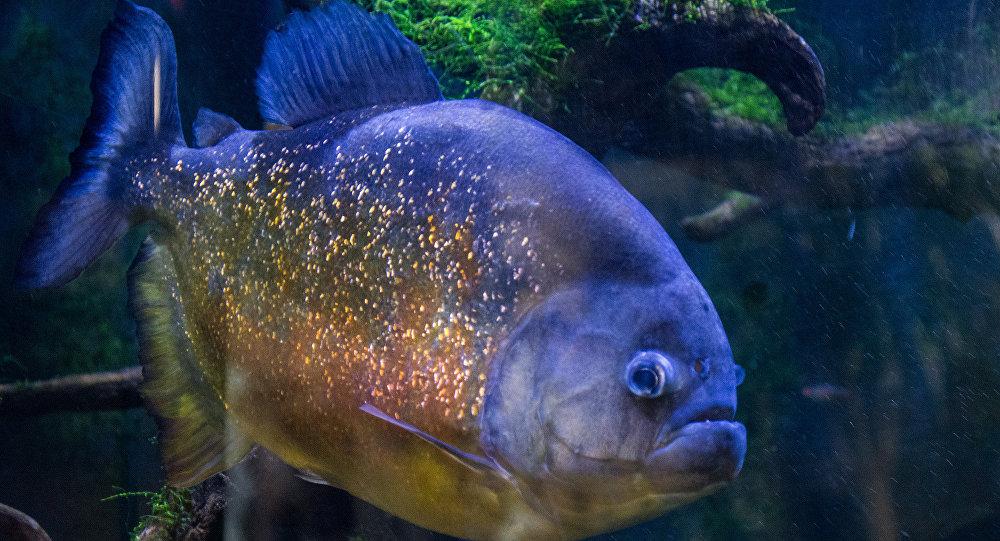Encontro estranho: pescadores suecos capturam 'primo da piranha' em águas nórdicas