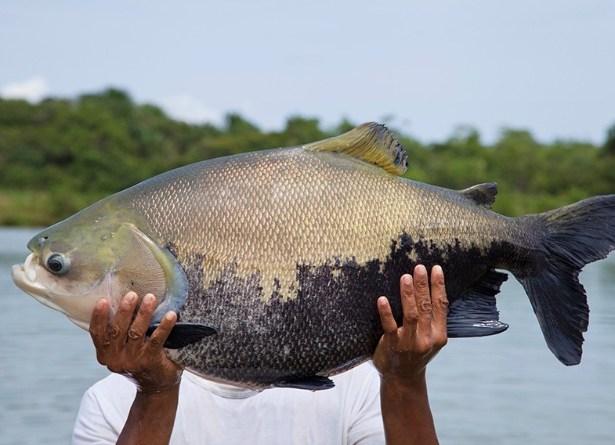 Especialistas internacionais debaterão reprodução de peixes em Manaus