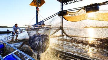 Liberação para criação da tilápia no estado do Tocantins