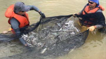 Piramutabas de cativeiro são uma ótima opção para piscicultura