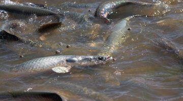 Produção de peixes no Brasil cresce e MT é o quarto maior produtor