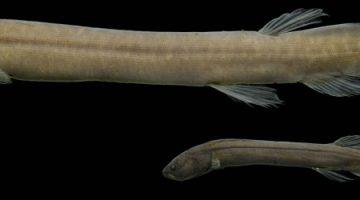 Pesquisadores do Inpa identificam 'peixe misterioso' da Amazônia