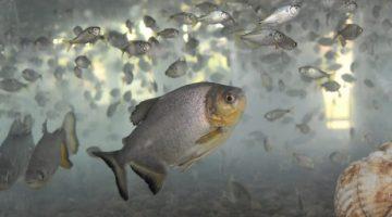 Dia do Pescador: Piscicultura requer maior cuidado com a qualidade de água no inverno
