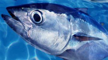 Renúncia coletiva de comitê de atuns expõe descaso federal com os estoques