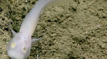 Cientistas encontram peixe jamais visto vivo no Oceano Pacífico
