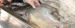 Consumidor deve ficar atento à qualidade do pescado na Semana Santa