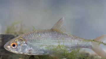 Peixes estão se tornando transgênero por causa dos químicos de pílulas contraceptivas