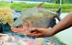 Sanidade na piscicultura será discutida em três seminários nas regiões mais produtoras de Rondônia