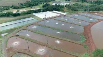 Colpani piscicultura produ o de alevinos alevinos de for Criadero de pescado tilapia