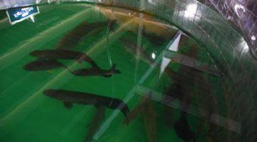 Seder oferece assistência técnica para produção de peixes em dias nublados