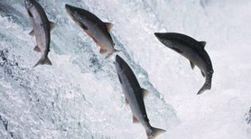 Depois de bater US$ 8,30, preço do salmão chileno cai; Alasca tem boa safra