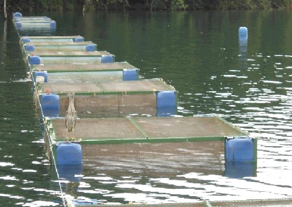 Grupo guas claras peixe em cativeiro for Como criar tilapias