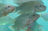 Grupo de investigadores descobre feromona em machos de peixes que acelera acasalamento
