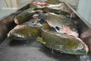Expovale vai impulsionar o mercado do pescado