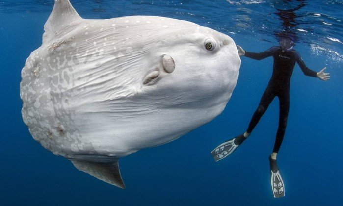 Pesquisadores identificam peixe ósseo mais pesado do mundo