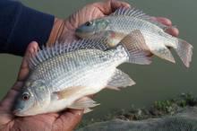 Brasil avança na criação de peixes de água doce