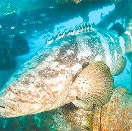 Alerta para os peixes gigantes ameaçados de extinção