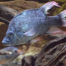 """O zoológico de Londres tem dois machos da espécie """"Ptychochromis insolitus"""""""
