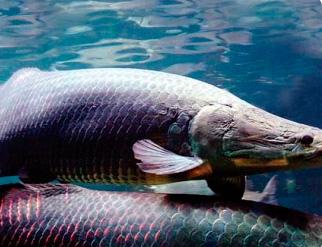 Pesquisa identifica 4 peixes do oeste do PA com mais ômega 3