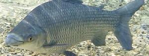 peixe Curimbata