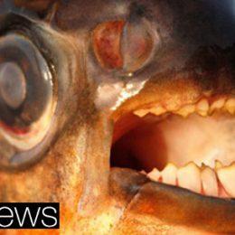 Peixes que mordem testículos apavoram nadadores suecos