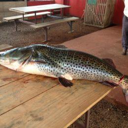 Pescadores capturam pintado de 31 kg em riacho de Mercedes, no Paraná