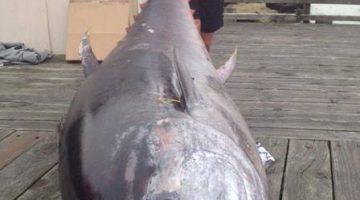 Pescadora fisga atum de 411kg na Nova Zelândia; peixe vale R$ 5 milhões