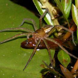 Aranhas que comem peixes estão por toda a parte, diz estudo