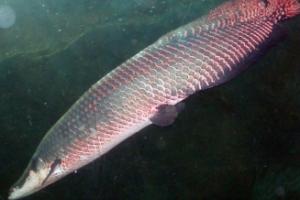 Peixe de maior importância econômica está desaparecendo no Pará