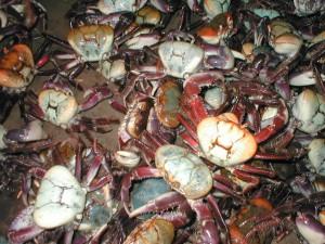 Caranguejo verde garante sustentabilidade à cadeia produtiva do crustáceo